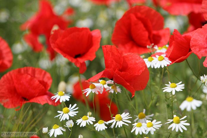 images/poppies_daisies_std.jpg
